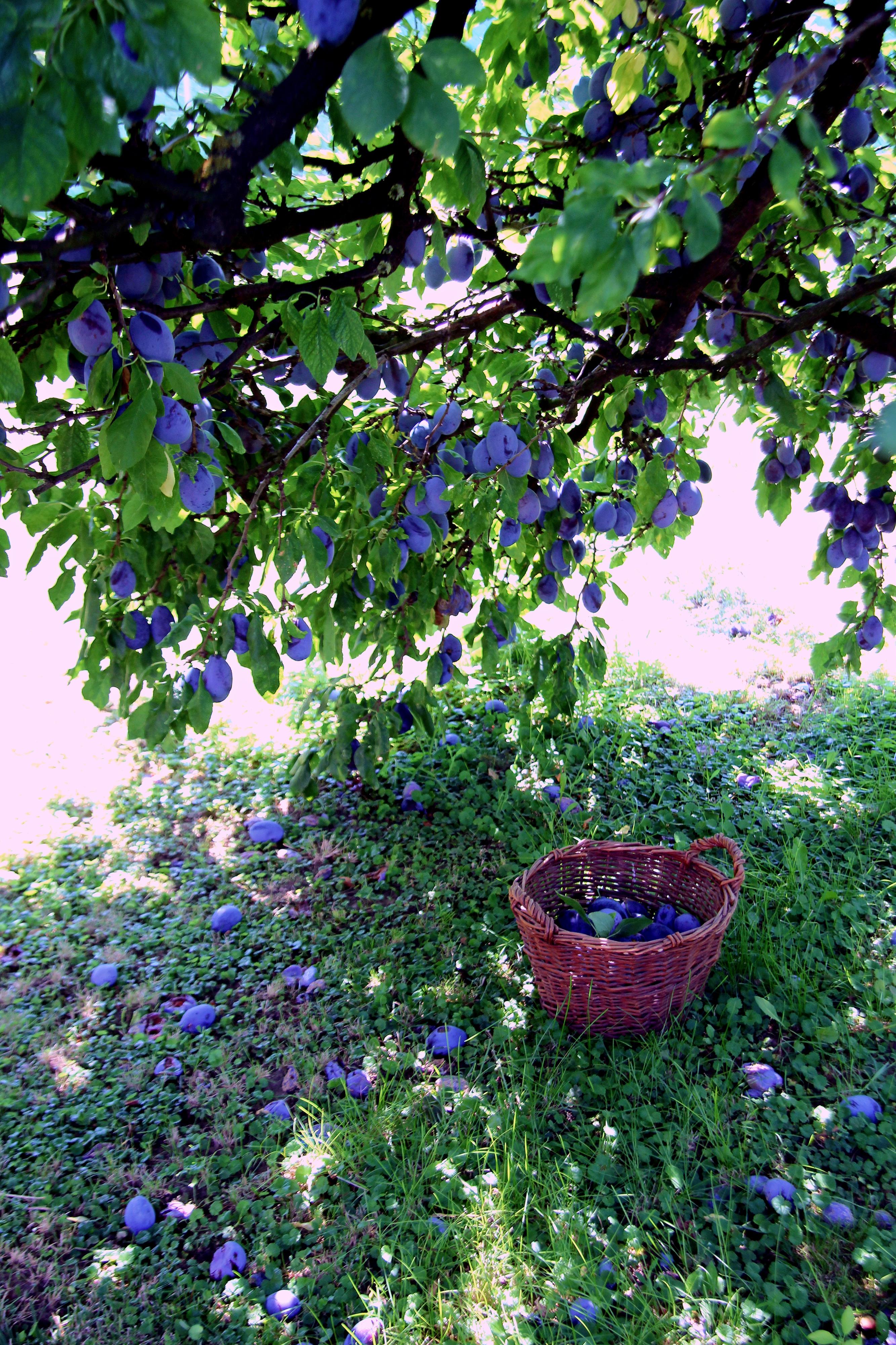 szilvafa
